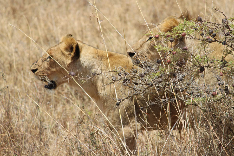 lions at NNP backpacking romance