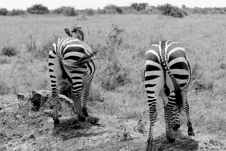 zebras NNp