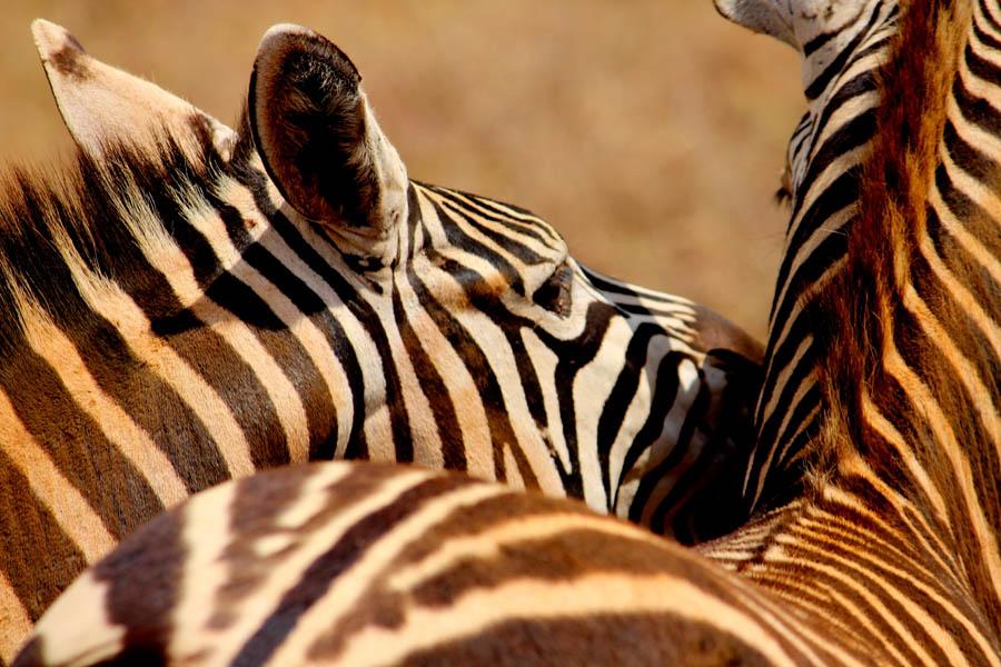 zebra community NNp