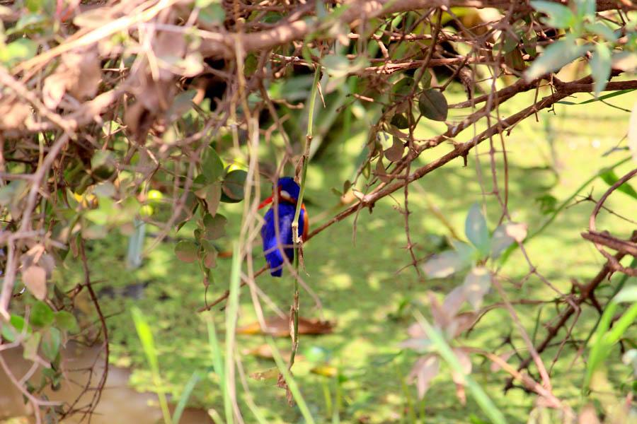 kingfisher NNP