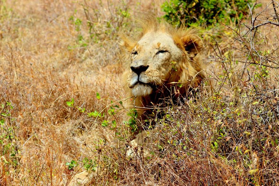 lion king NNP
