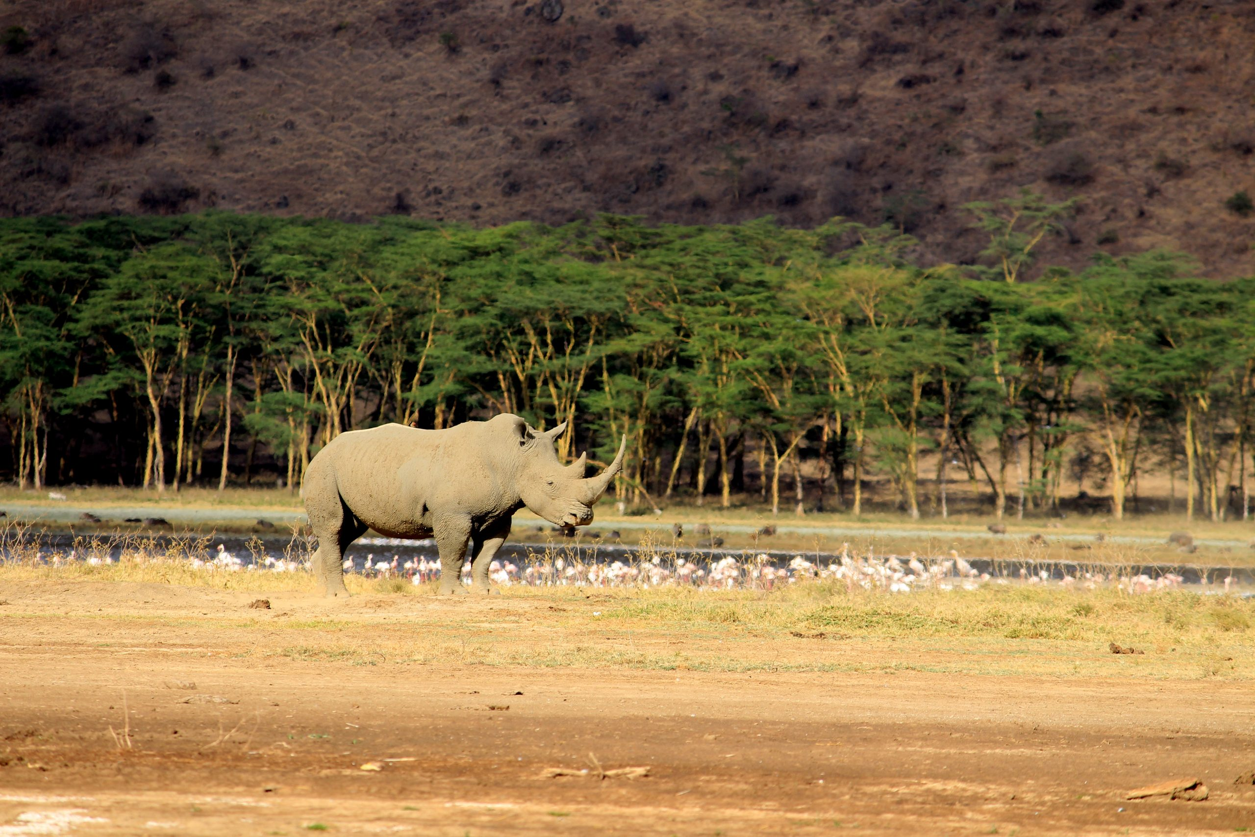 white rhino at nakuru