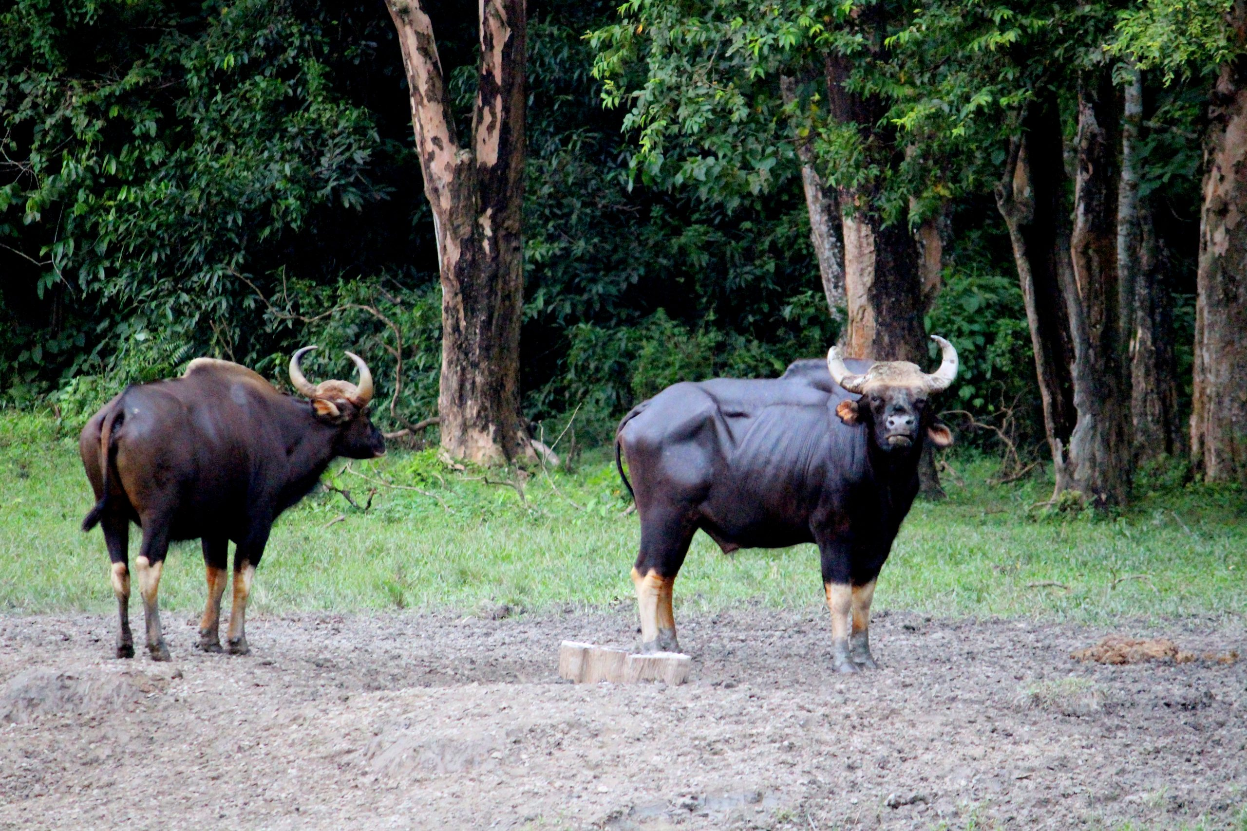 Hollong guest house bison