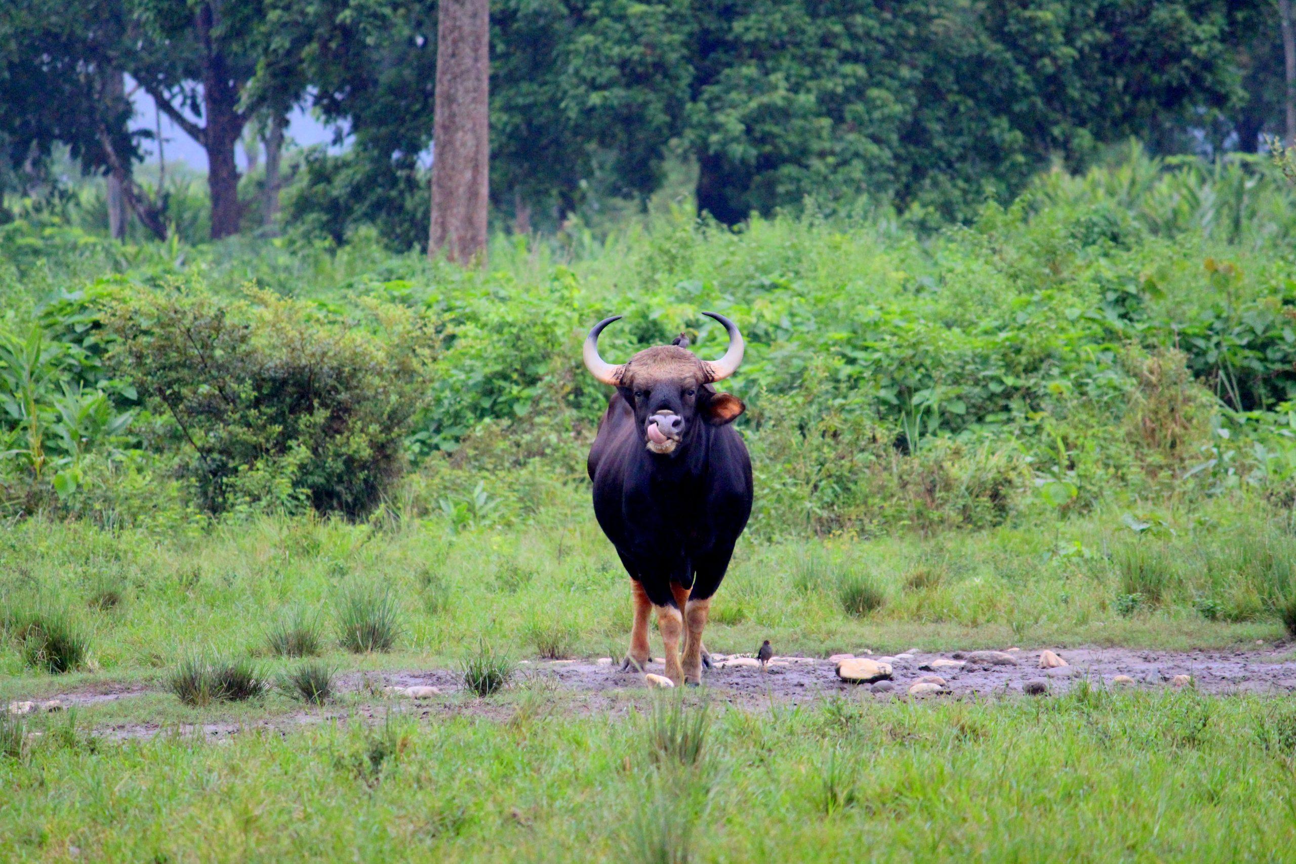 jaldapara bison