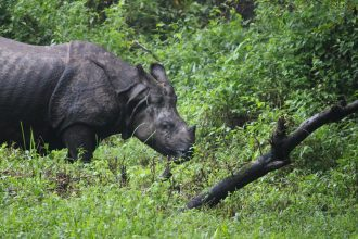 One-Horned Rhinos In Jaldapara