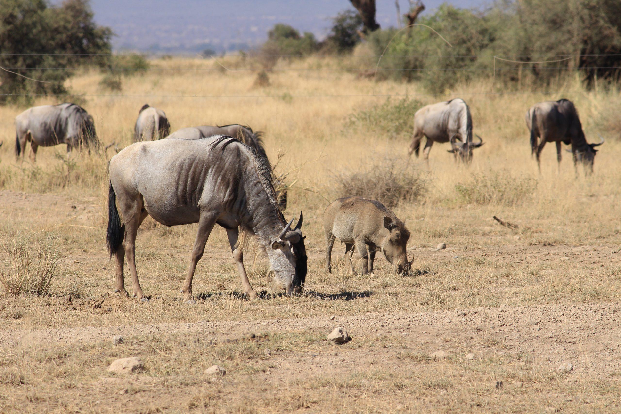 wildebeest amboseli backpacking romance