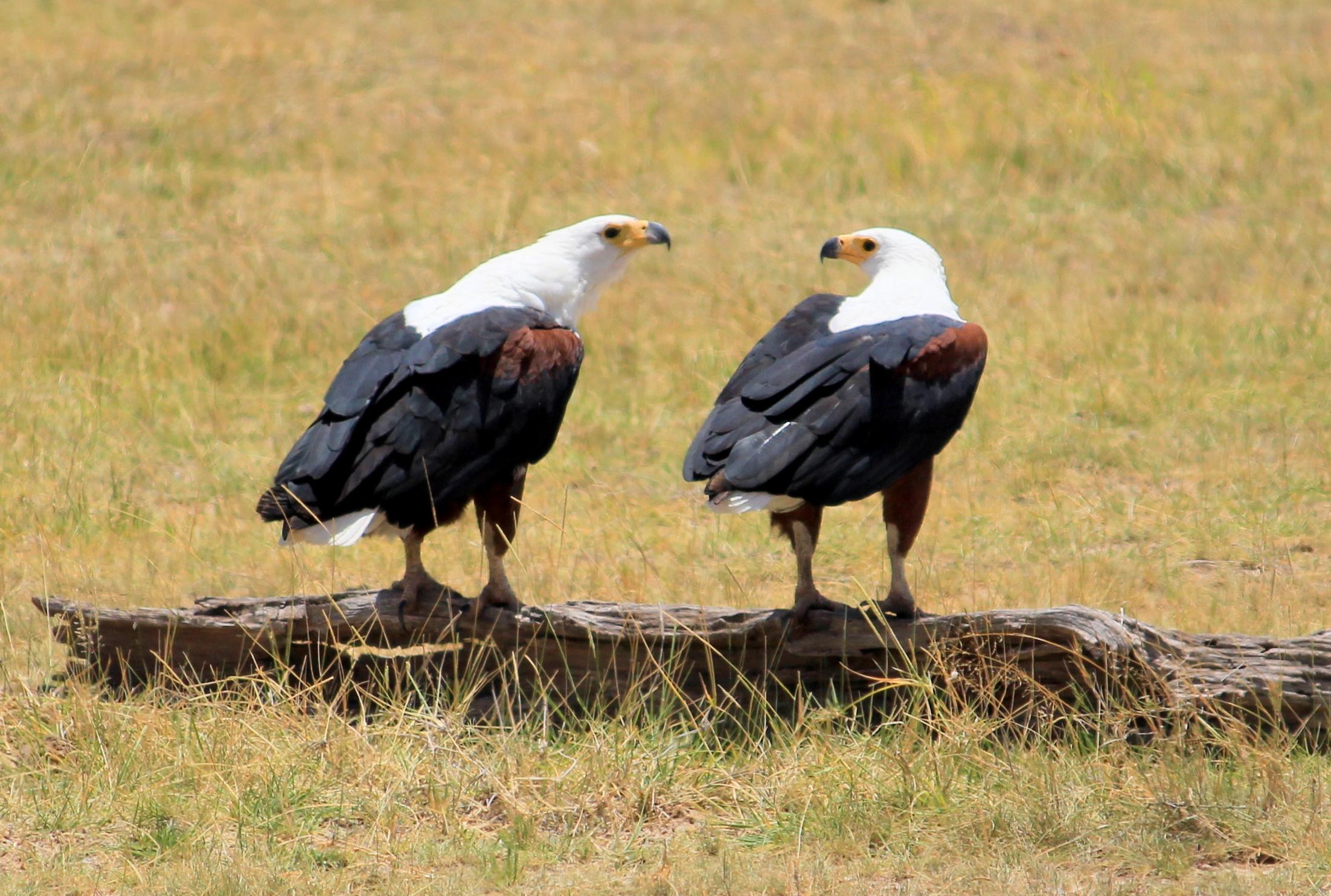 birds in Amboseli